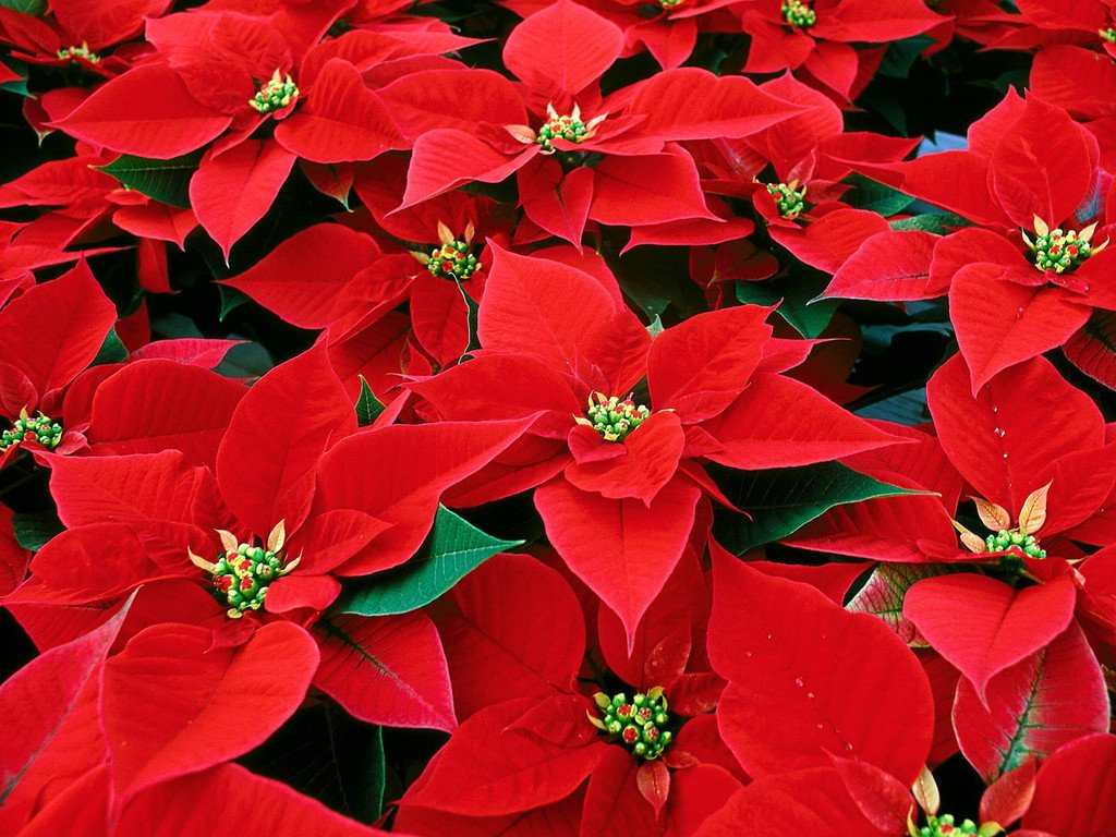 POINSETTIA SALE IS BACK!